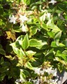 Abelia grandiflora Francis Mason.jpg