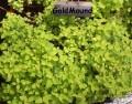 Golmound Spiraea japonica.jpg