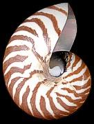 Natural Nautilus.jpg