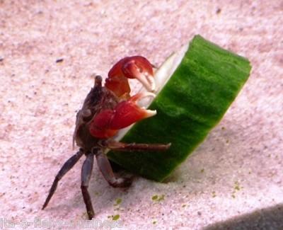 Red Claw Crab (Sesarma Bidens)