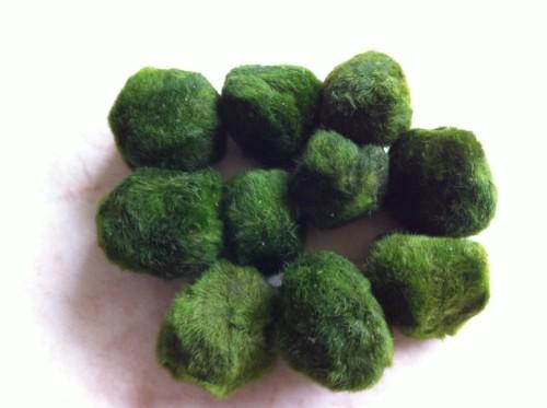 Marimo moss ball 1 to 3 cm its a fishy buziness for Marimo moss ball