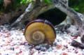 giant ramshorn snail 2.jpeg