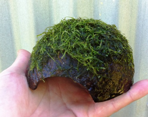 java moss coconut.jpeg