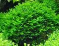 monosolenium-tenerum.jpeg