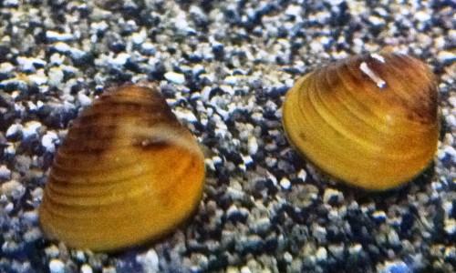 golden clam1.jpeg