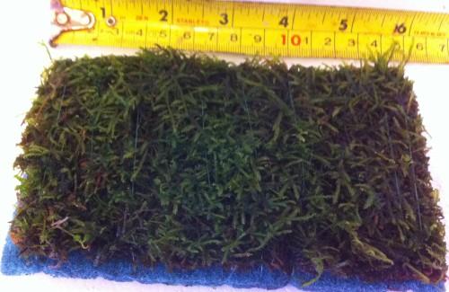 Java Moss Pad Its A Fishy Buziness
