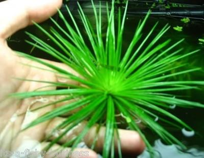 Eriocaulon Cinereum Very Rare Aquarium Tank Plant  Shrimp MOSS Amazon Snail