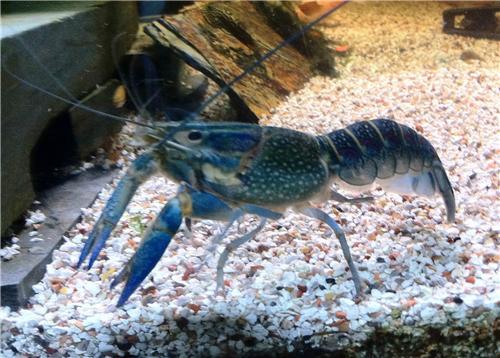 Breeding age Male / Female Red Claw Blue Crayfish Lobster ...