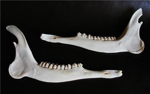 Aging deer jaw bones