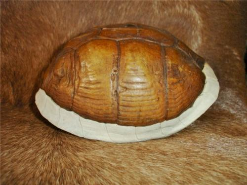 Real Box Turtle Shell #3 Proff Cleaned-Native American Rattle/Craft/Rattle-BC