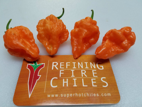 Orange Blob Hot Pepper 10 + seeds