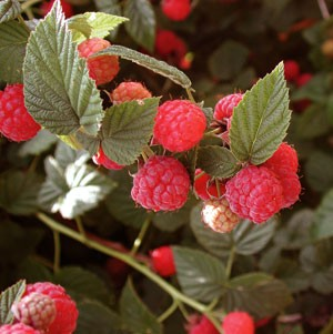 plantsRaspberries.jpg