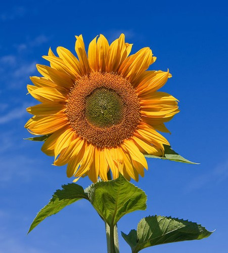 FlowersSkyscraperSunflower.jpg
