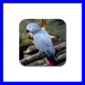 Rubber Coasters (4 Pack) AFRICAN GREY PARROT Bird Pets (19941749)