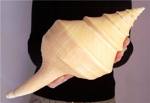 Huge Syrinx Aruanus Trumpet Seashell Giant Sea Shell An