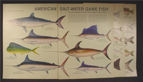 Magazine article american salt water game fish 8 pages for Va game and fish