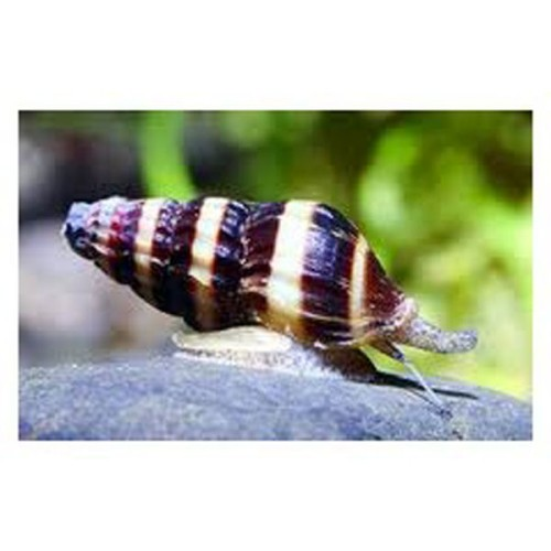 assassin Snail.jpeg