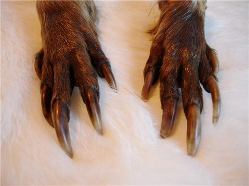 Matched Pair Of Large Perserved Beaver Feet Game Changer
