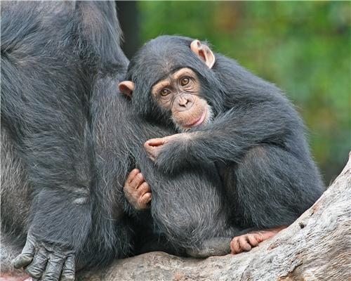 BABY CHIMP GLOSSY POSTER PICTURE PHOTO cute chimpanzee ...