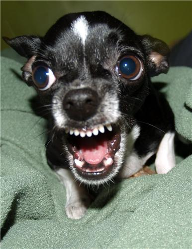 Killer Chihuahua Glossy Poster Picture Photo Angry Mad
