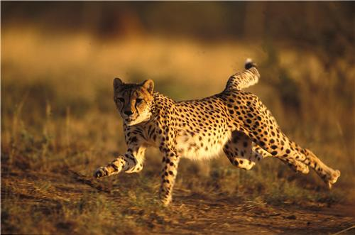 Hunting Vehicles For Sale >> SPRINTING CHEETAH GLOSSY POSTER PICTURE PHOTO running leopard africa cat run - ConversationPrints