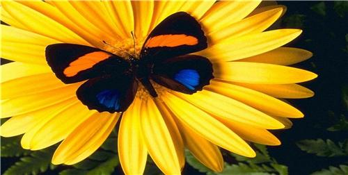 BUTTERFLY & YELLOW FLOWER GERBER DAISY CUSTOM LICENSE PLATE CAR AUTO TAGS NEW